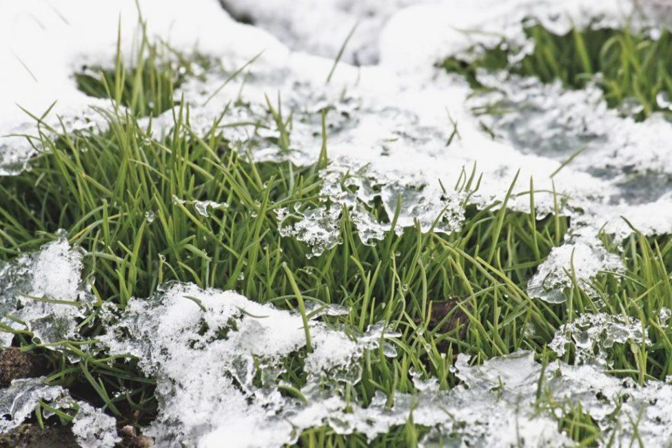 Конец зимы: так газонная травка выбирается из-под снега