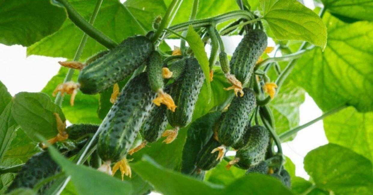 Главное достоинство гибридов – высокая урожайность