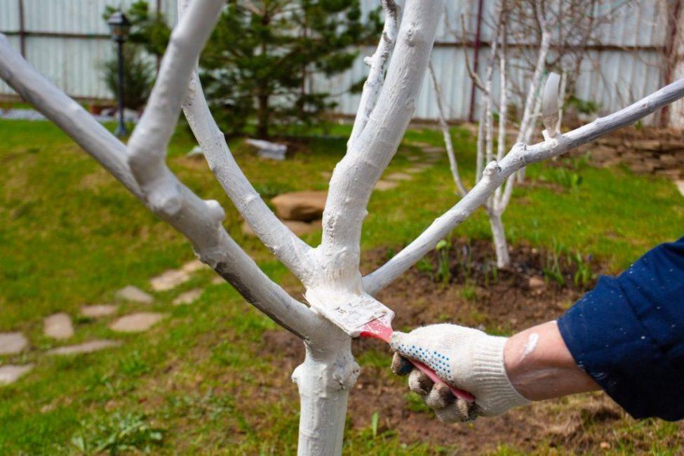 Побелка защищает дерево от нападок вредителей или болезнетворных микроорганизмов