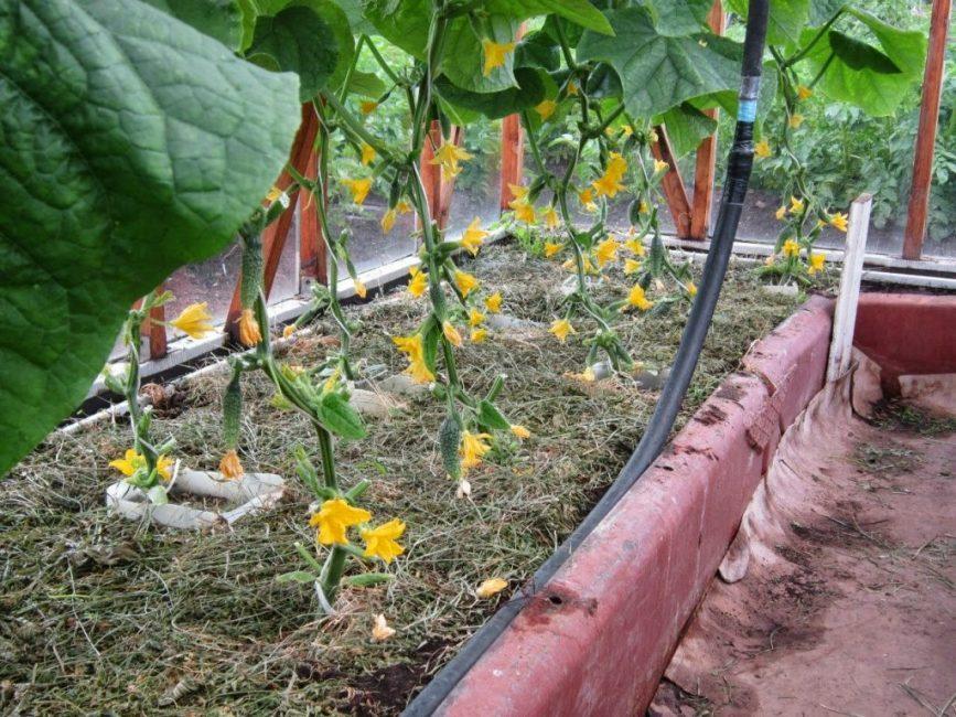 Развитие зеленцов в парниках