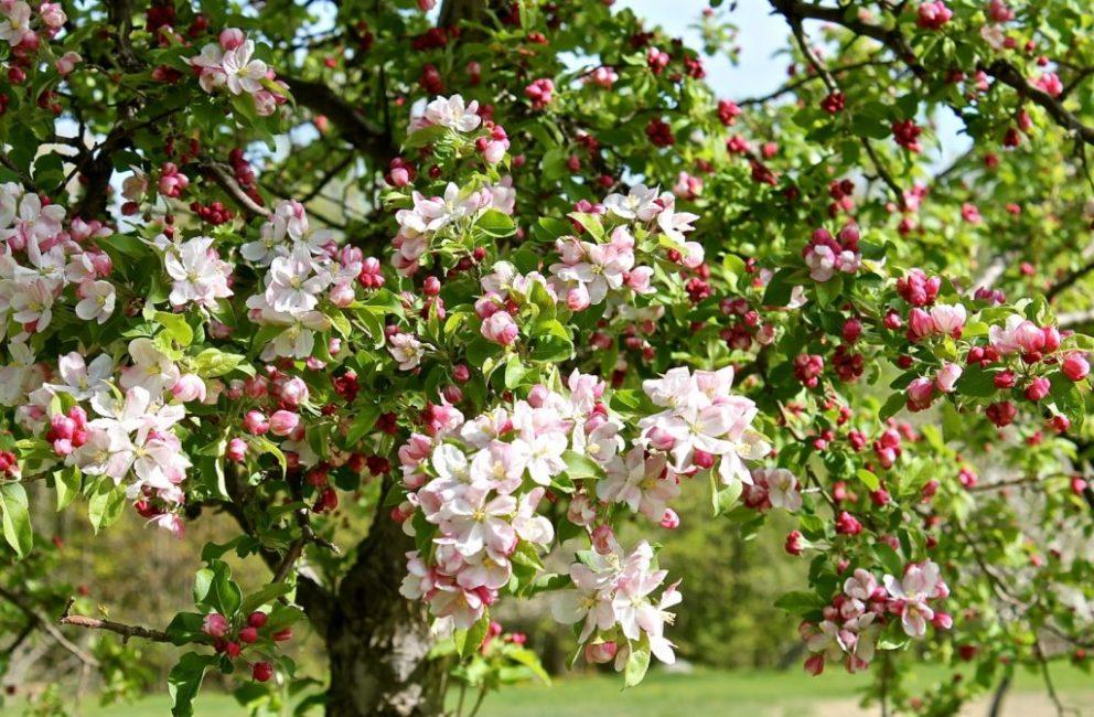 В период цветения, по розовым бутонам обработка сада запрещена