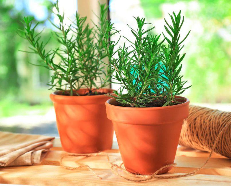 Ароматные кустики озеленят кухню, и свежая пряность будет всегда под рукой
