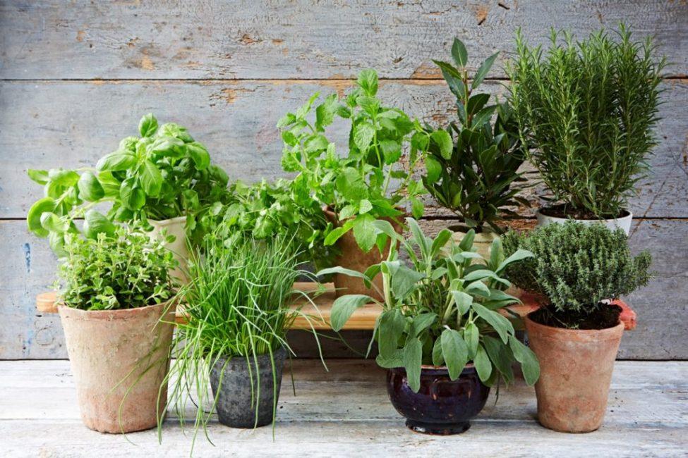 Пряные травы создают уютный уголок в саду и дома