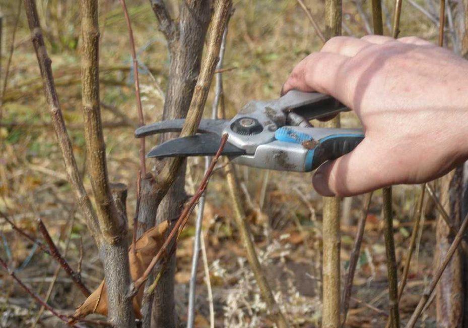 Заготовка черенков осенью производится после листопада и формирующей обрезки