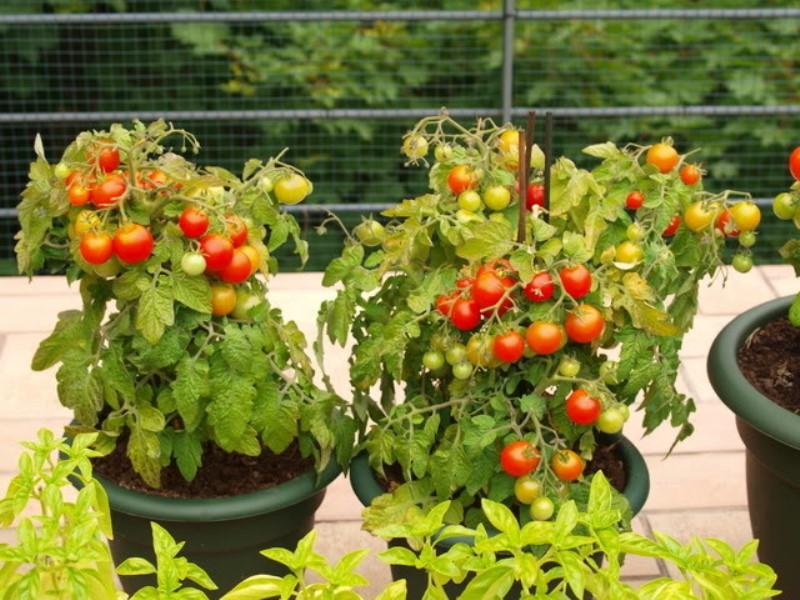 Выращивание ампельных томатов в горшечной культуре