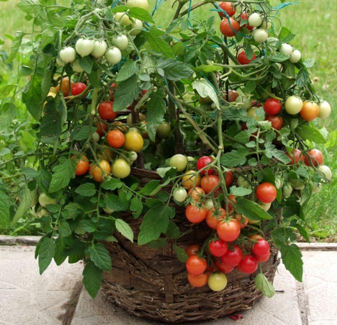 В качестве тары для ампельных помидор можно использовать декоративные горшки и корзины