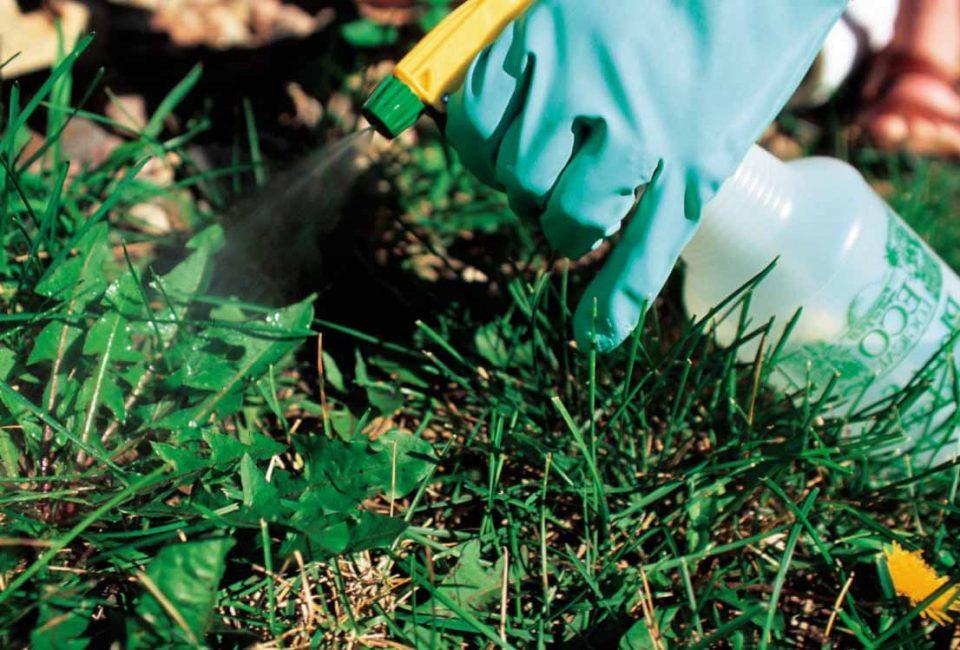 Обработка уксусом помогает избавиться от назойливого растения