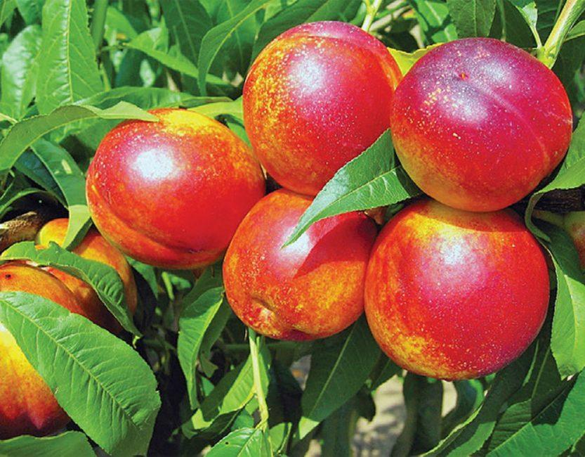 Главнейшее различие - значительное содержание натурального нектара, витамина C