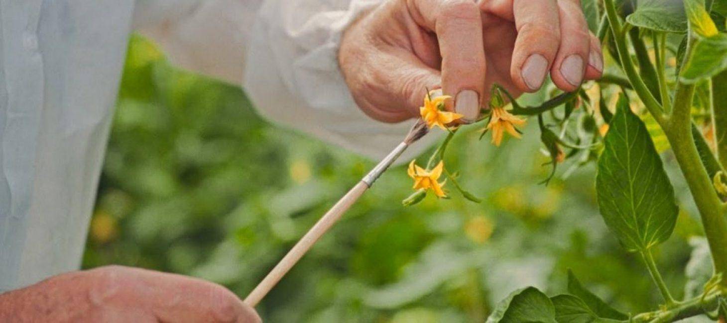 Искусственное опыление цветков томата