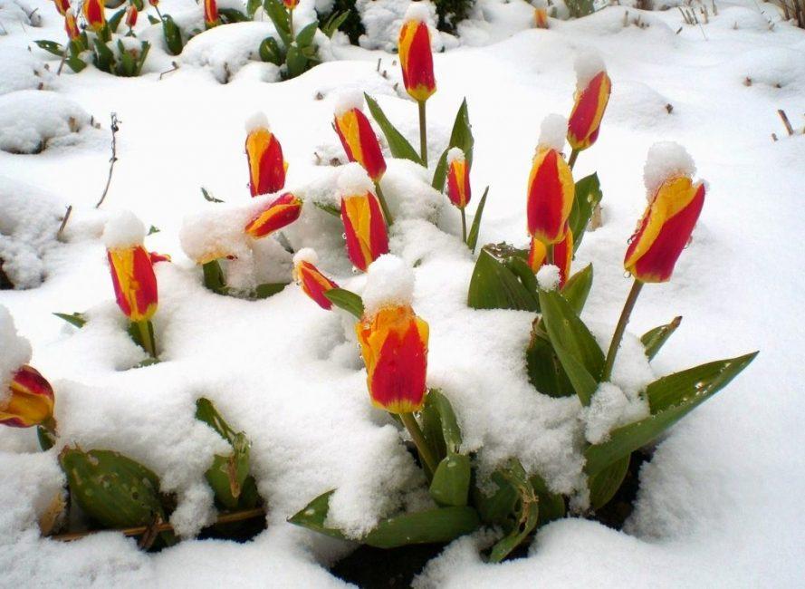 Вовремя посаженные растения цветут в установленные сроки. Время цветения зависит от сорта