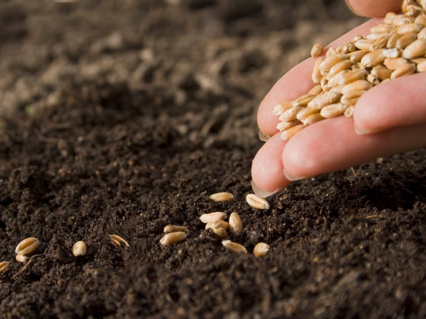 Количество семян злаков высевают из расчета на кв. м.