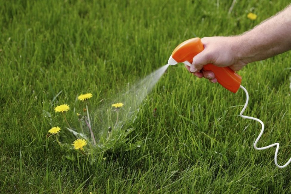 Истребительные меры: удаление одуванчиков гербицидами