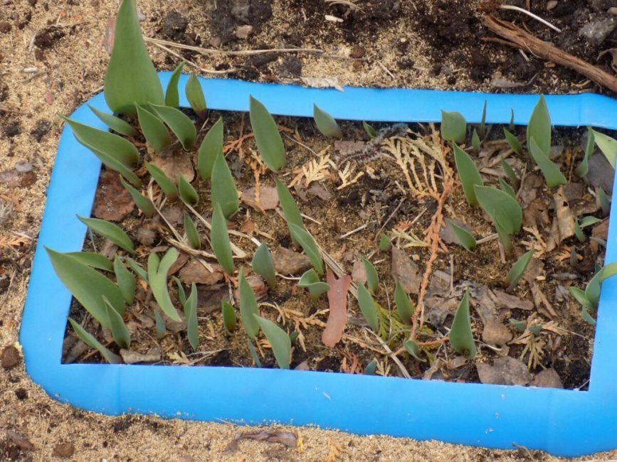 Один из вариантов - посадка тюльпанов в пластиковые емкости