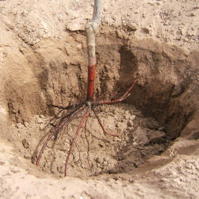 Расположение саженца яблони в яме при посадке