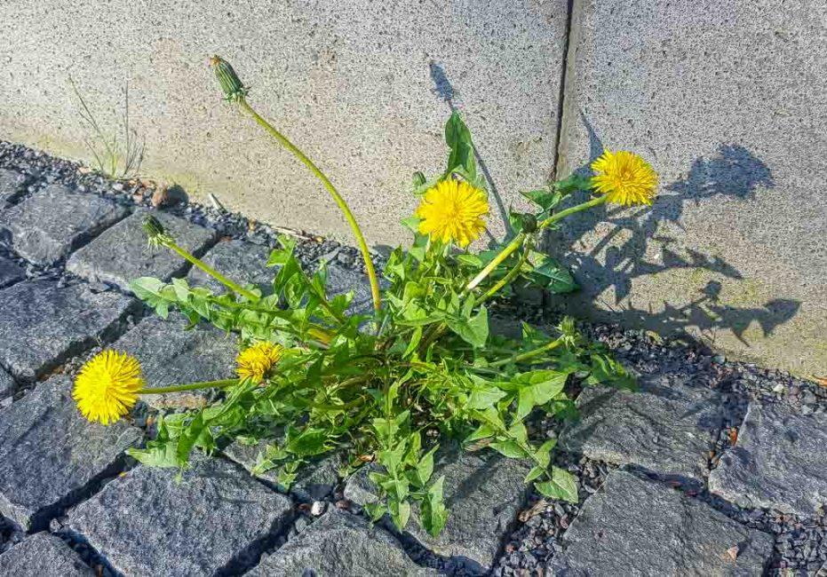 Растение-космополит непритязательно к условиям произрастания