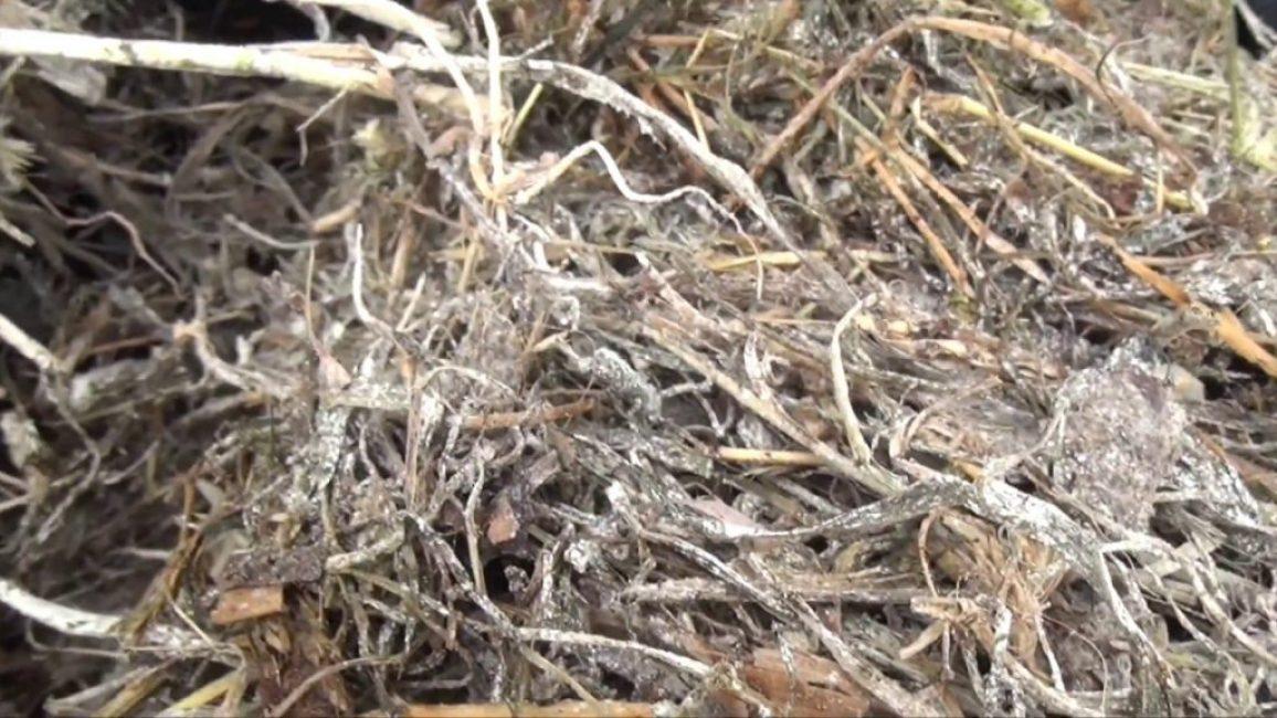 Как выглядит сенная палочка на траве