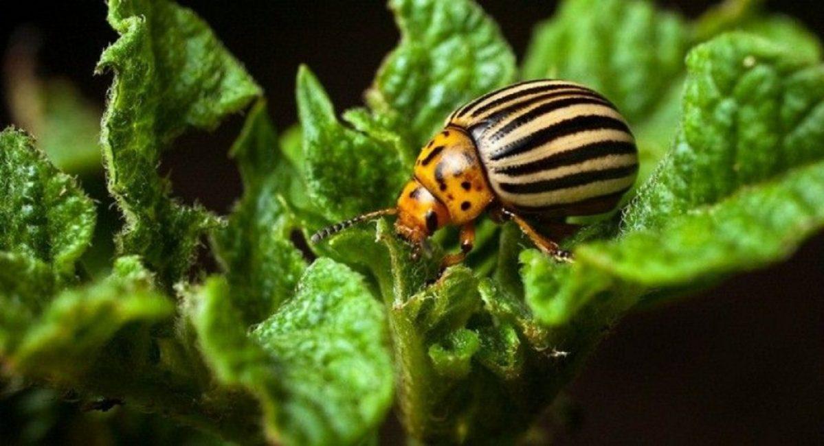 Колорадский жук – основной вредитель паслёновых культур