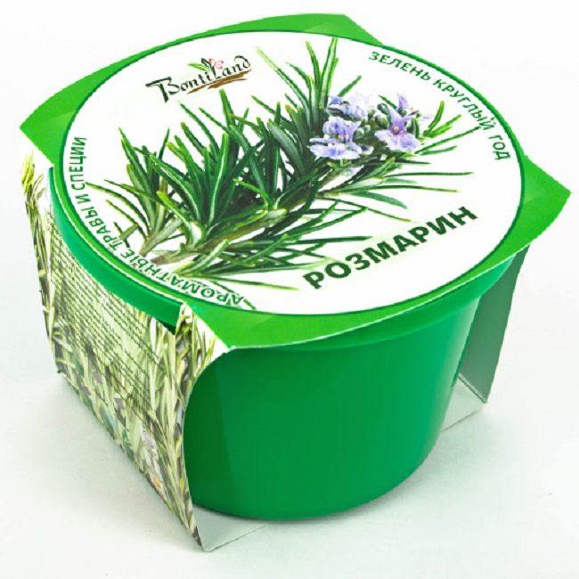 Можно вырастить розмарин из покупных стаканчиков, которые продают в садовых центрах