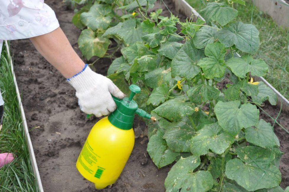 Опрыскивание огурцов молоком для профилактики грибковых заболеваний