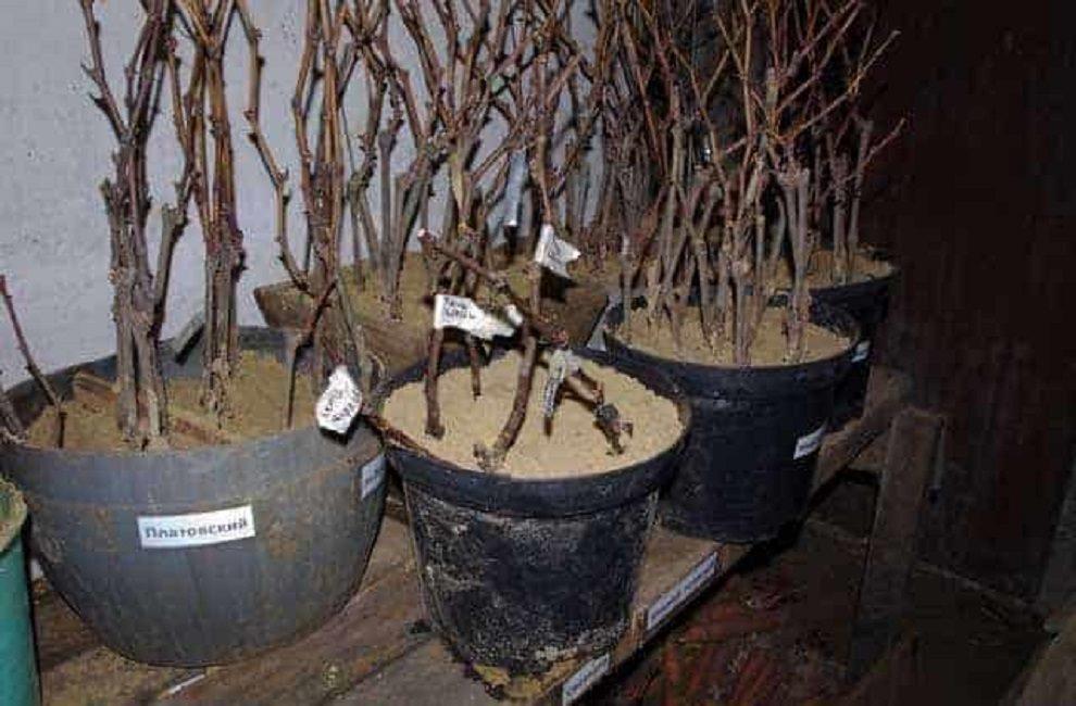 Особенности хранения черенков винограда в погребе до весны