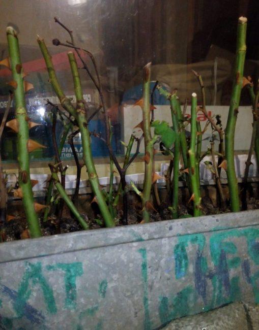 Почему гибнут черенки роз