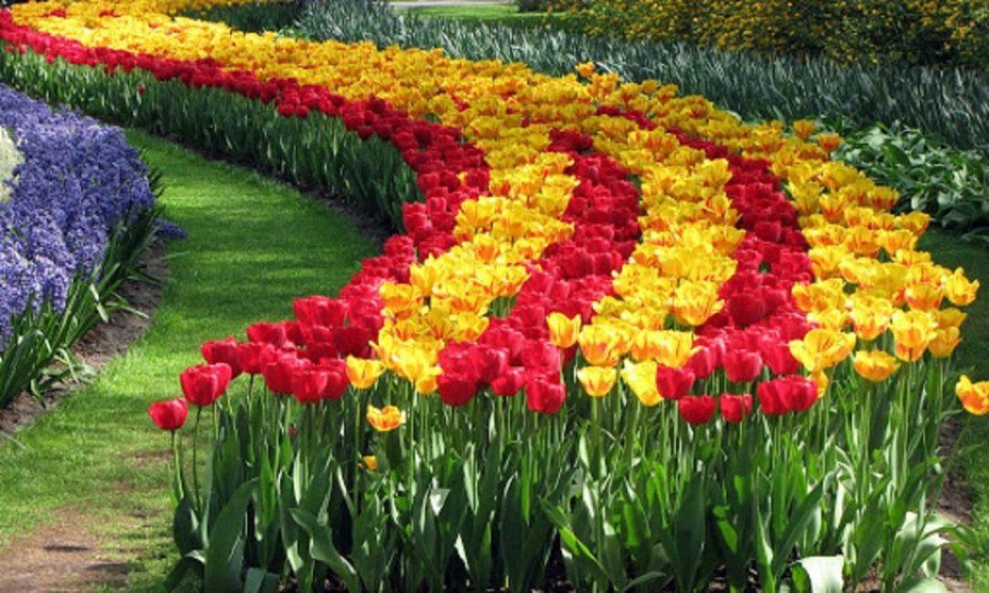 Правильная осенняя посадка - неповторимые краски цветущих тюльпанов ранней весной