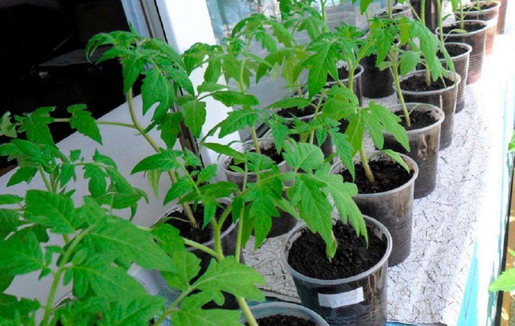 Рассаду ампельных помидоров рекомендуется выращивать в индивидуальной таре