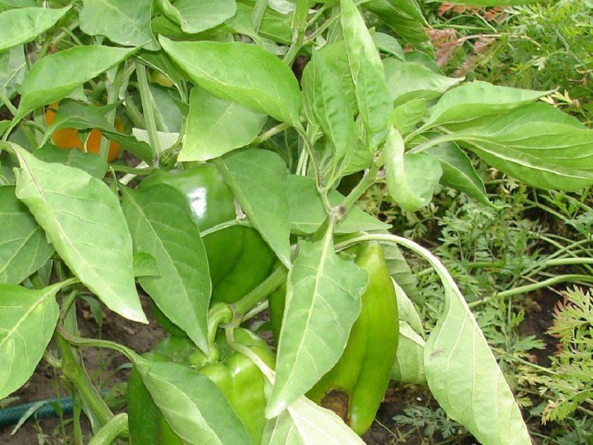 Скручивание листьев у перца из-за высокой температуры