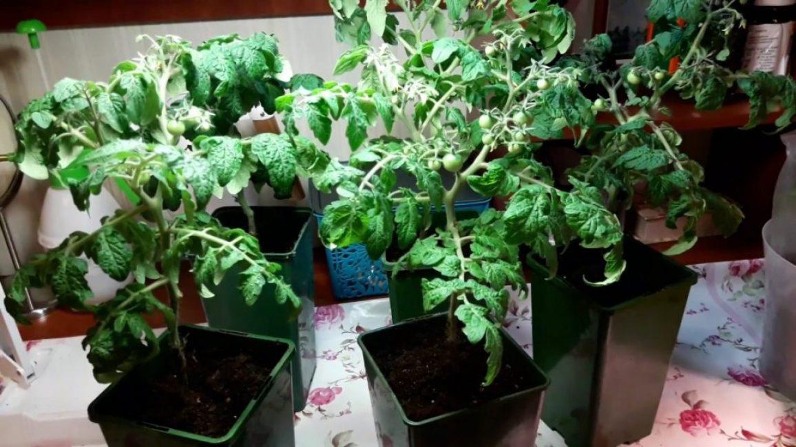 Выращивание ампельных томатов