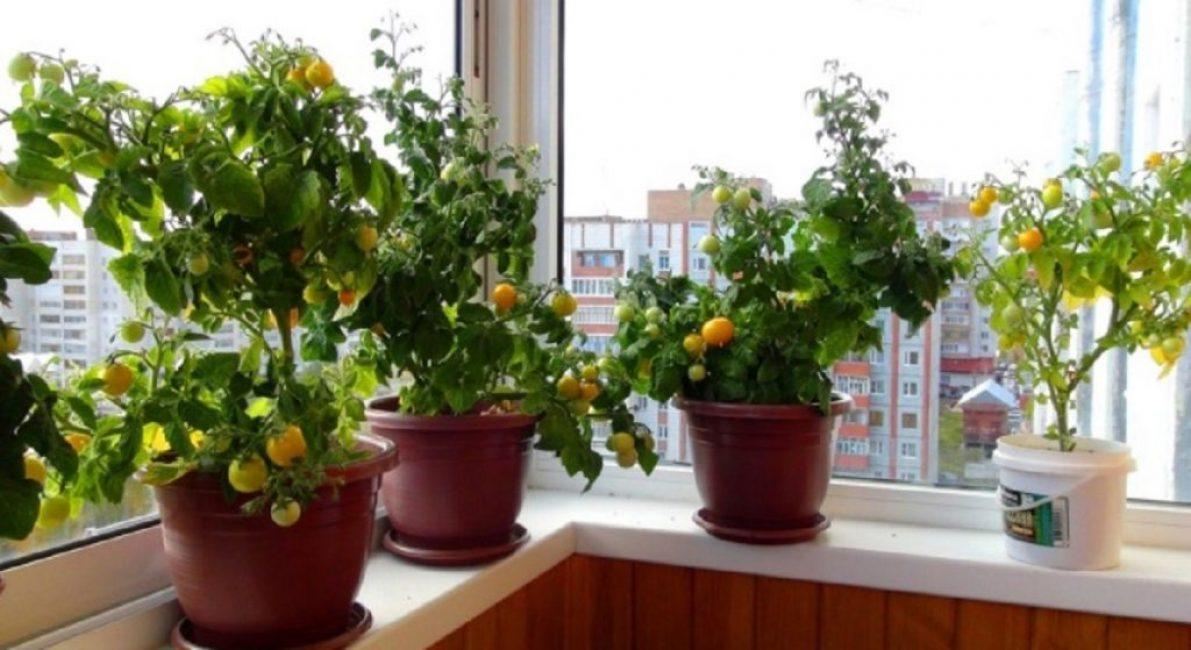 Южные окна – оптимальное место ампельных помидор в квартире