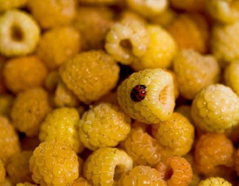 Желтая ягодка