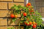 ампельные томаты сорта