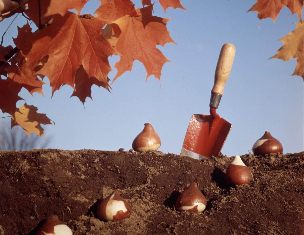 Как сажать луковицы тюльпанов осенью дома