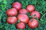 томат розовый описание сортов