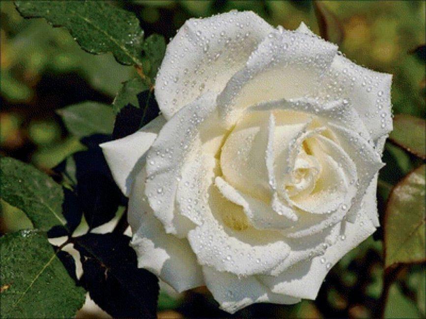 Чисто белая роза сорта Ивнинг Стар