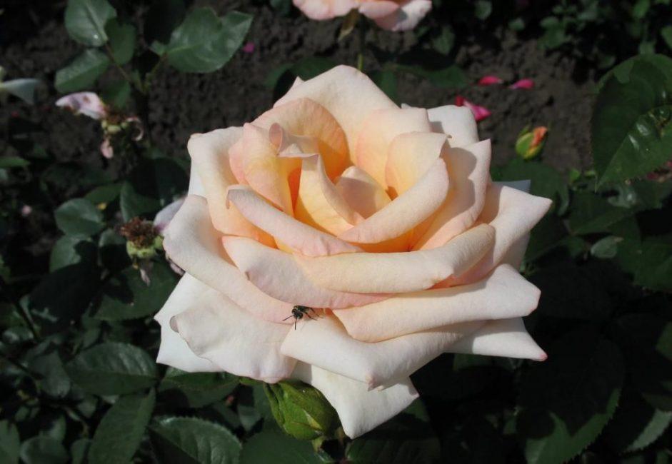 Расцветка Версилии нежного персикового оттенка