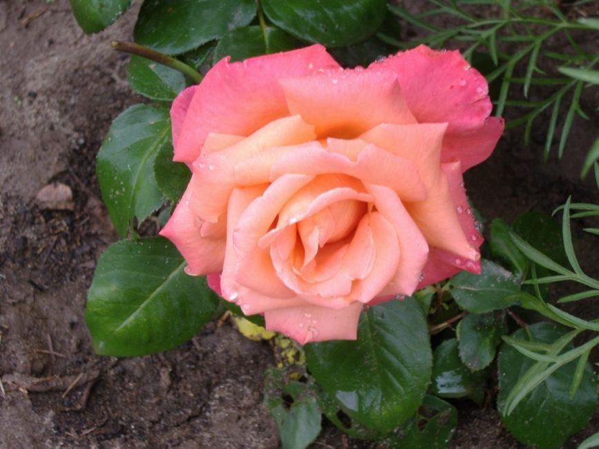 Роза сорта Христофор Колумб