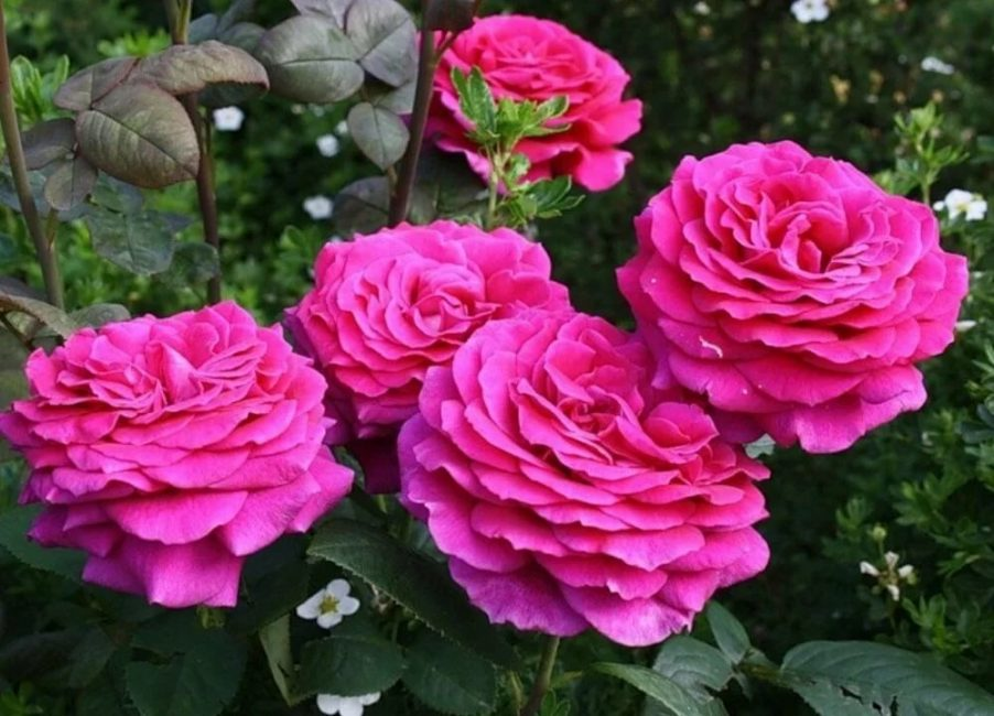 В цветке могут расти до 45 лепестков