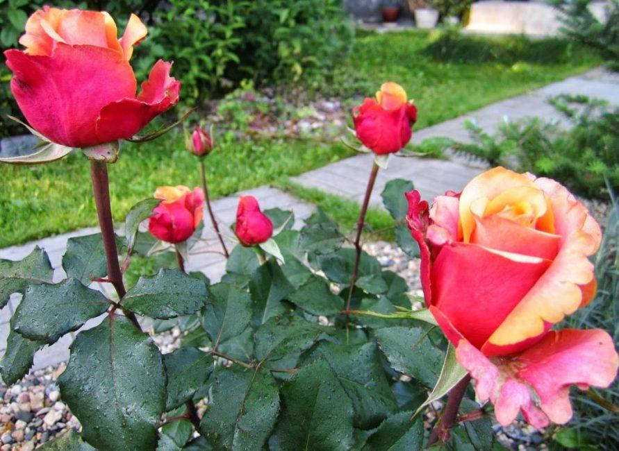 черри бренди роза