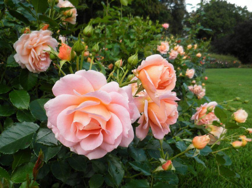«Шраб» переводится как кустарник. Шрабовые розы пользуются популярностью, поскольку розоводы уверяют, что за ними легче ухаживать, и они легче переносят зиму. К шрабам или кустовым (парковым розам) относят все сорта, которые не включены в остальные группы.