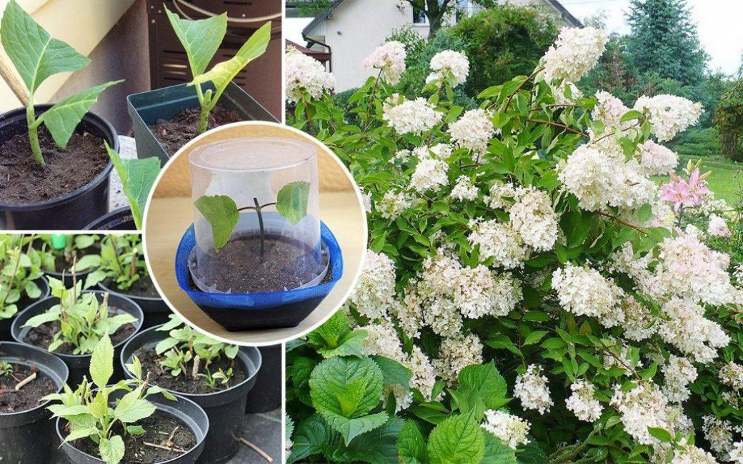 Вегетативное размножение, позволяющее полностью копировать качества материнского растения
