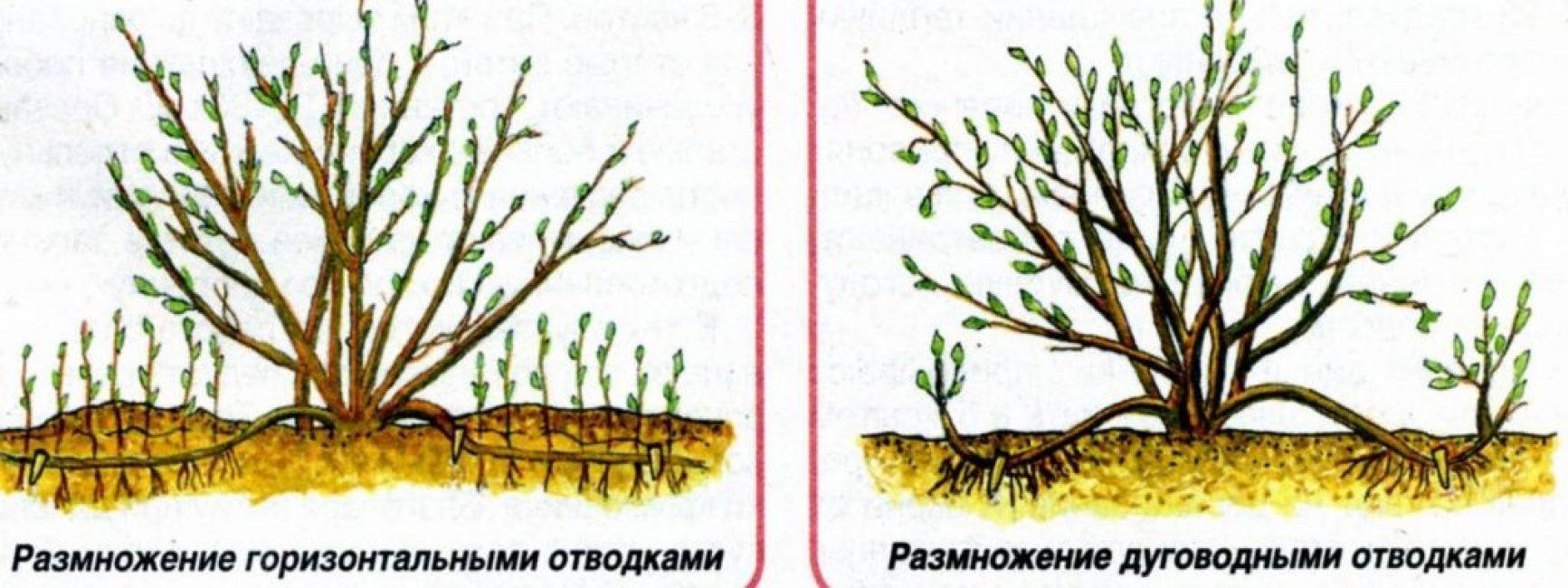 Схема получения отводок от взрослого куста гортензии