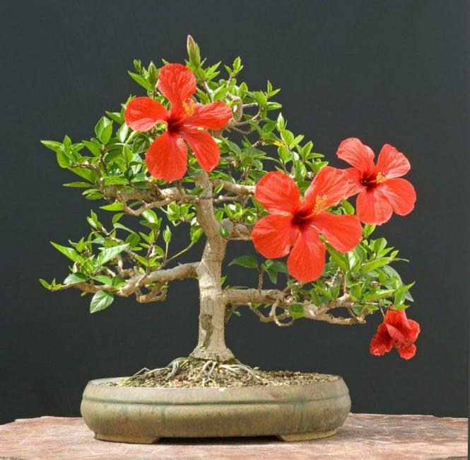 Один из вариантов бонсая из китайской розы