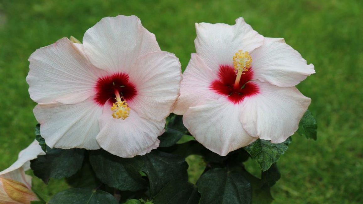 Гибискус сорта Бориас украшен белыми цветками с красной серединкой