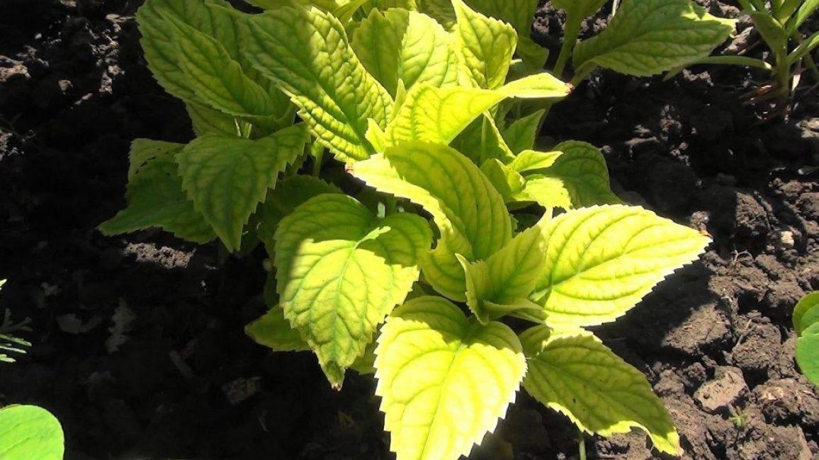 Хлороз проявляется в осветлении листвы