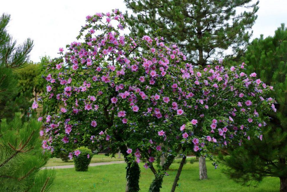 Сирийский гибискус - прекрасное украшение крымских садов и парков