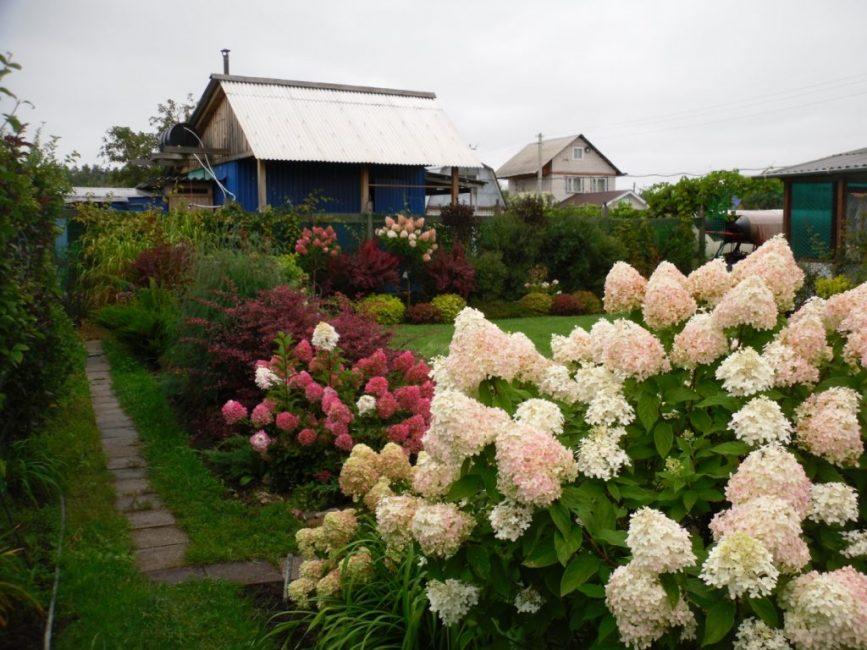 Красавица гортензия в садовом дизайне