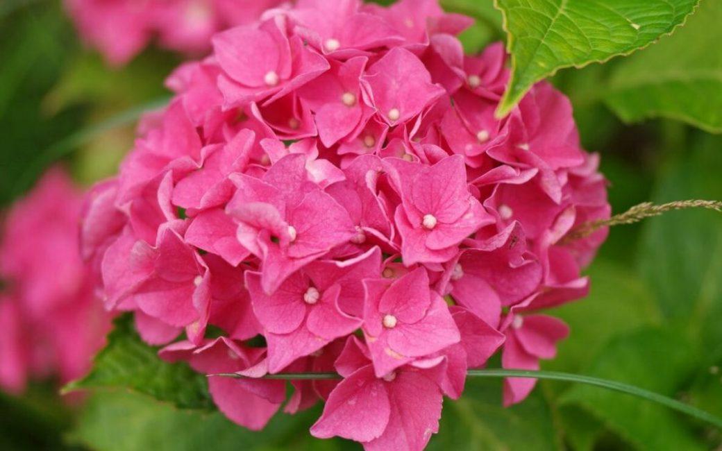 Цветение происходит за счет стерильных цветков, не способных дать семена