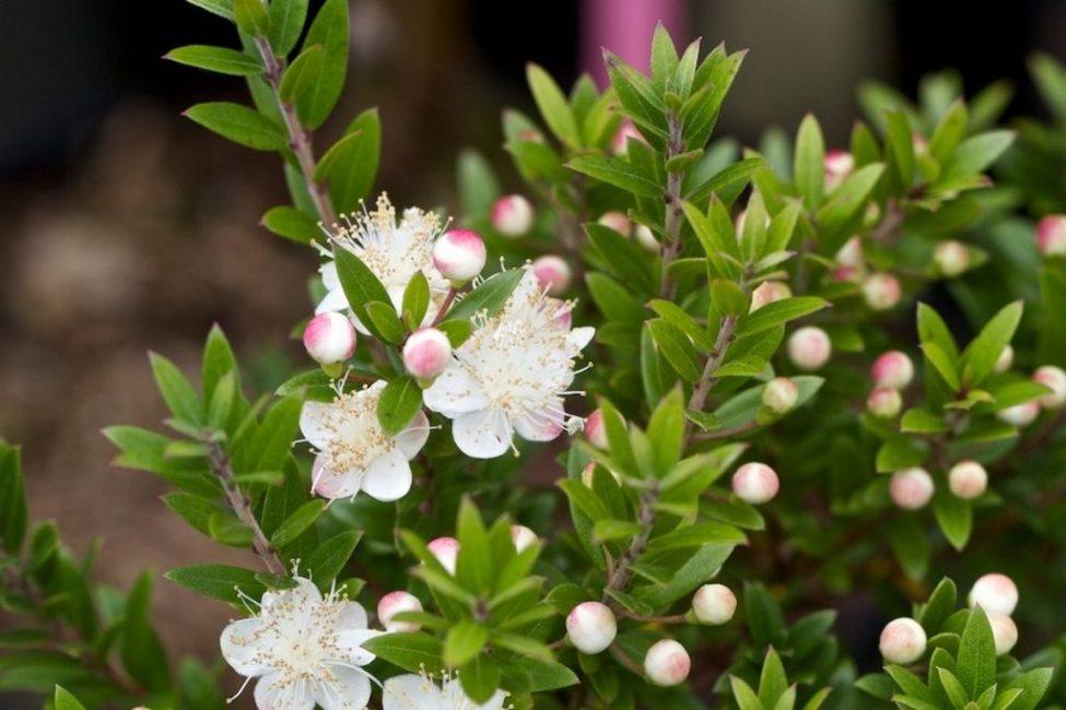 Нежное, ароматное цветение продолжается все лето