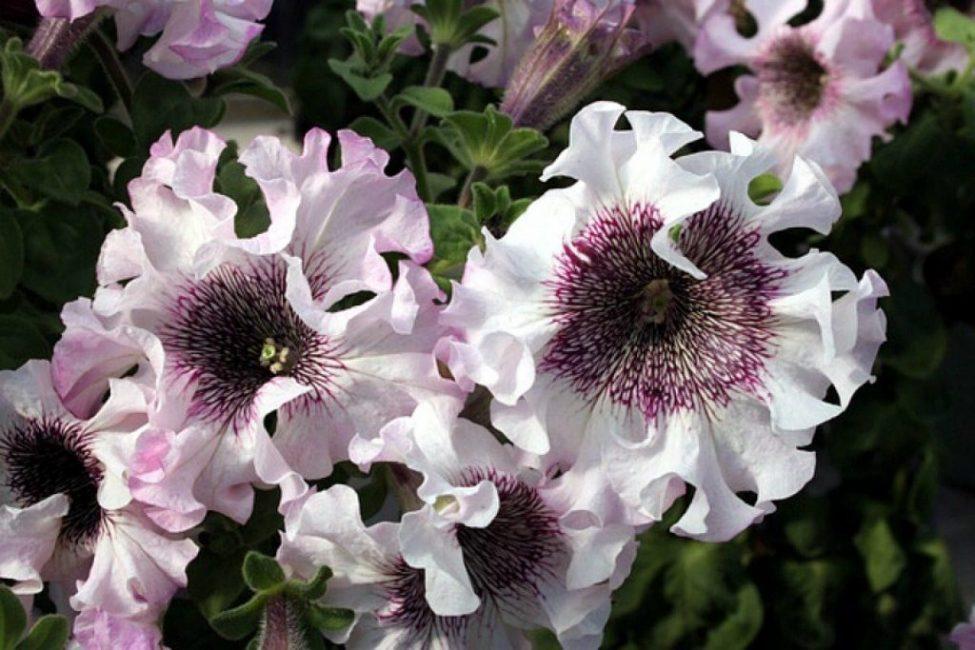Петуния Grandiflora superbissima